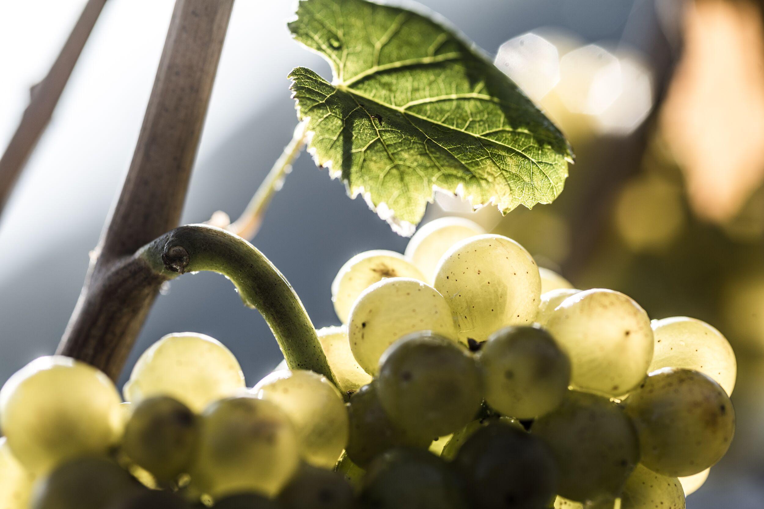 Il Pinot Bianco: un grande vino di carattere internazionale